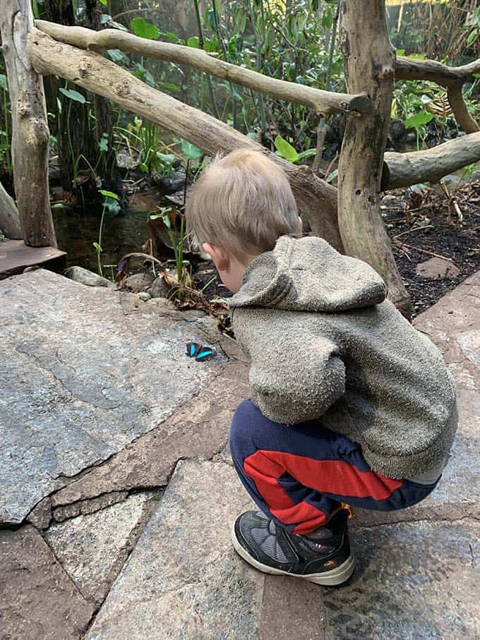 a small boy crouching down and looking at a blue butterfly